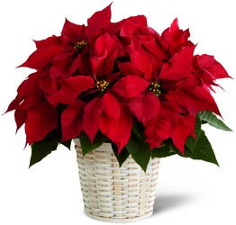 The FTD Red Poinsettia Basket (Small) from Victor Mathis Florist in Louisville, KY