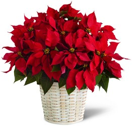 The FTD Red Poinsettia Basket (Large) from Victor Mathis Florist in Louisville, KY