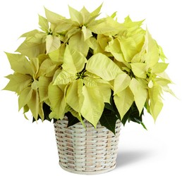 The FTD White Poinsettia Basket (Large) from Victor Mathis Florist in Louisville, KY