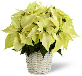 The FTD White Poinsettia Basket (Small) from Victor Mathis Florist in Louisville, KY