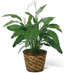 The FTD Spathiphyllum from Victor Mathis Florist in Louisville, KY