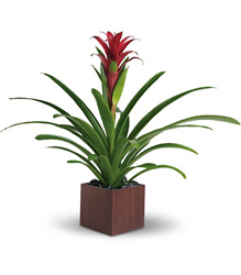 Teleflora's Bromeliad Beauty from Victor Mathis Florist in Louisville, KY