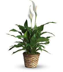 Simply Elegant Spathiphyllum - Small from Victor Mathis Florist in Louisville, KY
