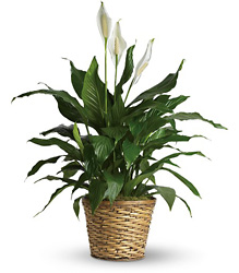 Simply Elegant Spathiphyllum - Medium from Victor Mathis Florist in Louisville, KY