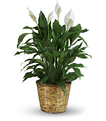 Simply Elegant Spathiphyllum - Large from Victor Mathis Florist in Louisville, KY