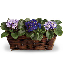 Sweet Violet Trio from Victor Mathis Florist in Louisville, KY