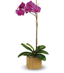 Teleflora's Imperial Purple Orchid from Victor Mathis Florist in Louisville, KY